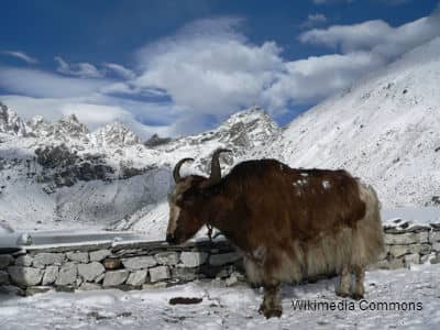 Yak at Mount Everest