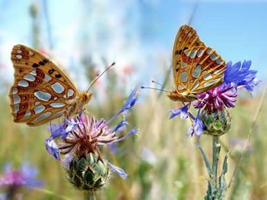 Two butterflies on two thistles in a field