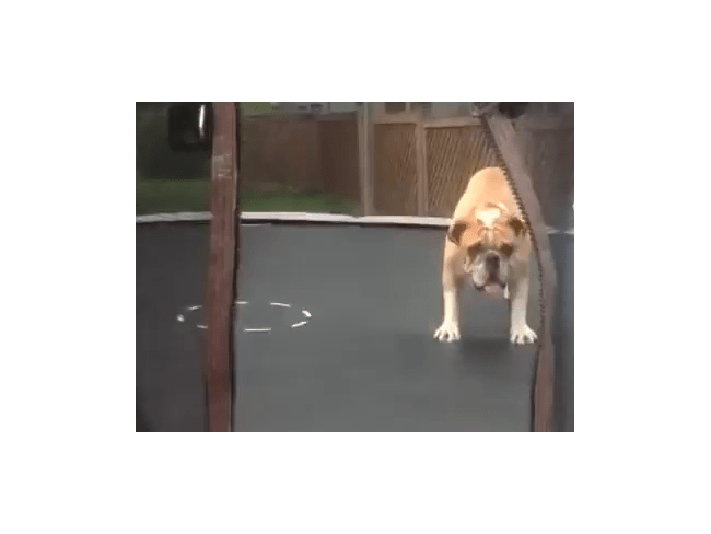 Animals on Trampolines