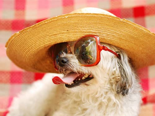 White dog wearing red sunglasses straw hat