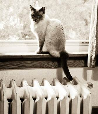 siamese cat at window