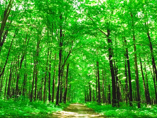 Bright green forest path