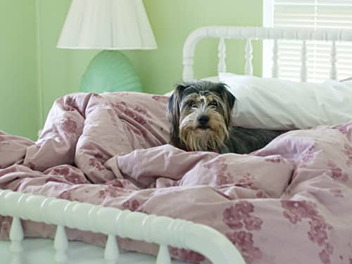 Schnauzer Terrier lying on a bed