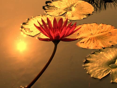 water lily reflected at sunset