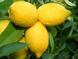 Bunch of lemons on tree