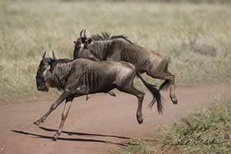 zebras and wildebeests relationship help