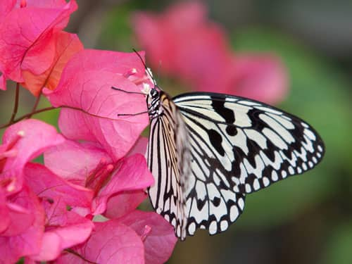 Black and white butterfly on pink flowers