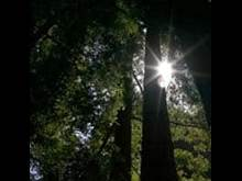 Sun shining down through redwood trees