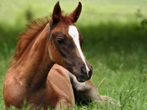 Pets-Horse lying in the grass
