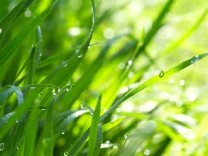 Dew-Drops on Green Blades of Grass