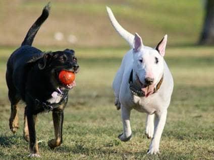 Black and white dog running